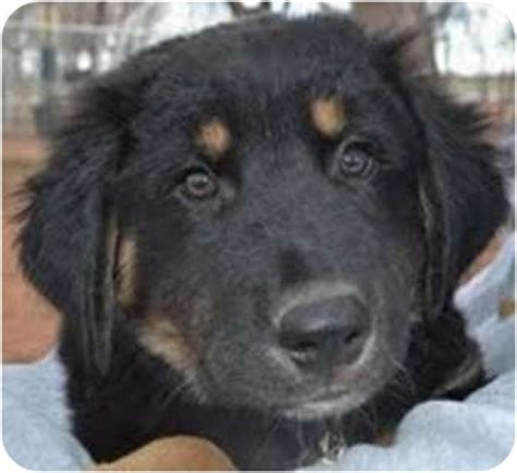 great pyrenees mixed with rottweiler beast adopted adopted puppy tulsa ok great pyrenees rottweiler mix