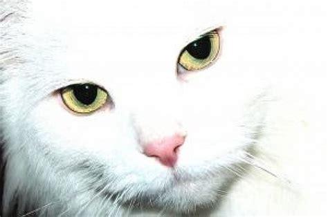 imagenes de ojos verdes de gatos ojos de gato descargar fotos gratis