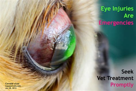 shih tzu eye ulcer 2010vets 1345 a dot in a shih tzu s eye descemetocoele
