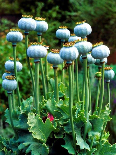 best 25 growing poppies ideas on pinterest poppy flower garden planting poppies and flowers