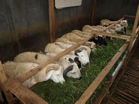 Mesin Perah Domba Kambing ilmu budidaya peternakan indonesia peluang usaha budidaya ternak domba