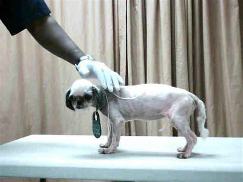 bald shih tzu 50 best images about s hair on hair cuts razor haircut and hair