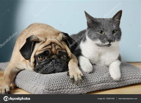 pug and cat pug and cat stock photo 169 belchonock 135551030