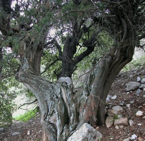 most amazing trees the most amazing trees in israel