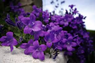 lavender colored flowers beautyful flowers purple flowers wallpapers