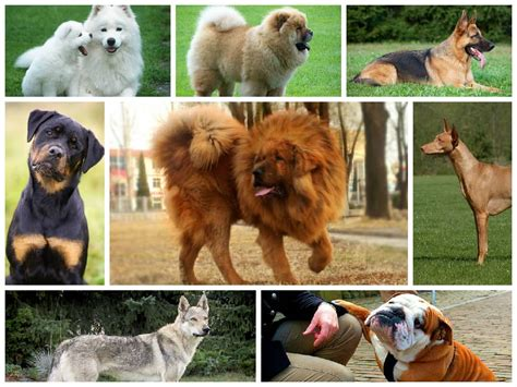 expensive dogs the 10 most expensive breeds in the world