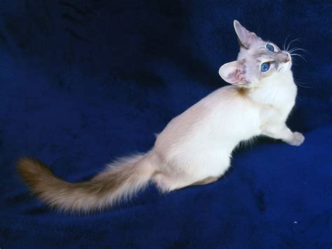 The Balinese balinese and javanese cat purrfect cat breeds
