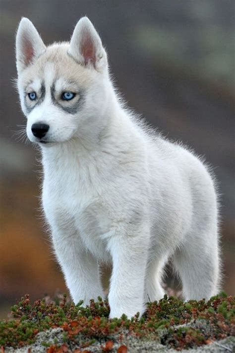 wolf husky puppies with blue eyes chien trop mignon dogs lovers http dogslovers fr