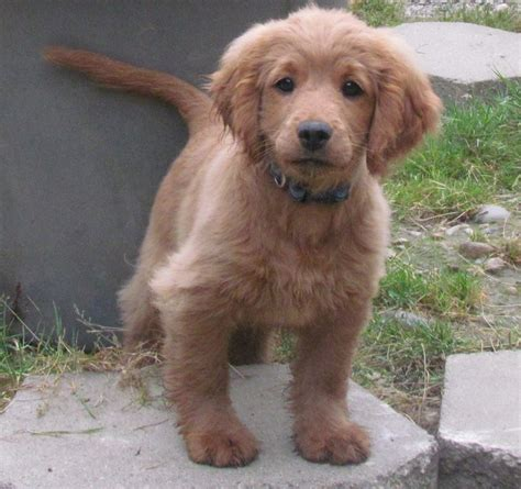 golden retriever and cocker spaniel golden cocker retriever stays small i want one