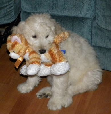 bringing a puppy home to another bringing home puppy puppies car ride aussiedoodle and labradoodle puppies