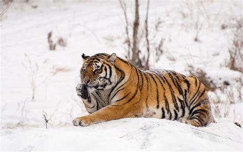 tigre seduta seduta siberiana della tigre fotografia stock immagine