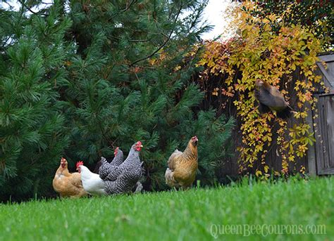 chickens for backyards coupon code backyard chickens and flies 28 images raising chickens