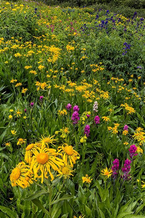 wildflowers american basin colorado outdoor photographer
