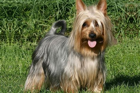 silky terrier puppies for sale silky terrier puppies for sale from reputable breeders