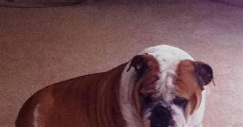 do english bulldogs need c sections just be farm our bulldog adventure
