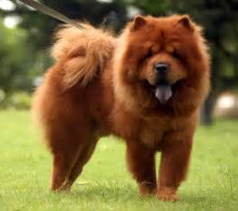 Chow chow have a very different personality comparative to other