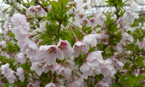 3 cherry tree hayfields prunus incisa twist twist cherry tree kato s nursery