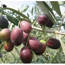 Jual Bibit Pohon Okra tanaman herbal