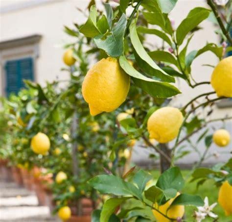 budidaya tanaman buah  pot bibitbungacom