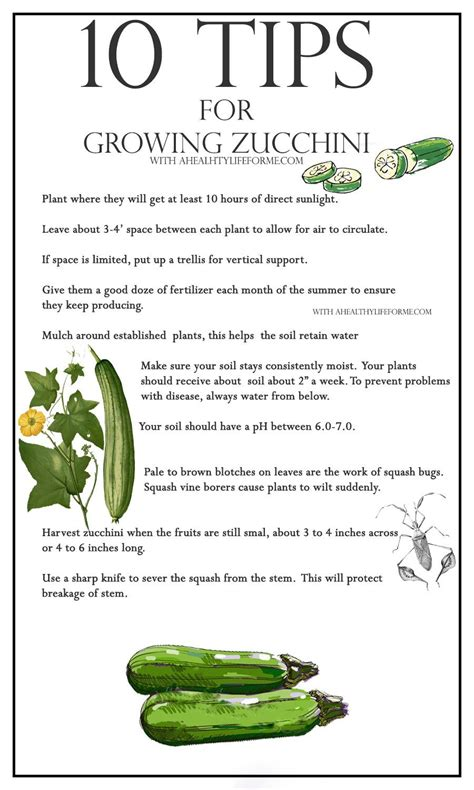 10 tips for growing zucchini a healthy life for me