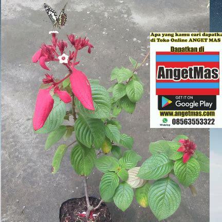 Bibit Tanaman Nusa Indah Putih tanaman bunga nusa indah merah anget anget