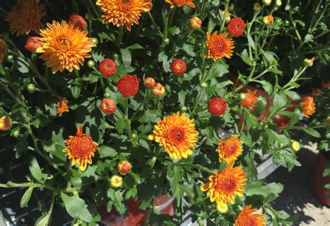 caring for hardy mums at home a fresh take