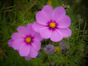 cosmos plants how to grow cosmos flowers