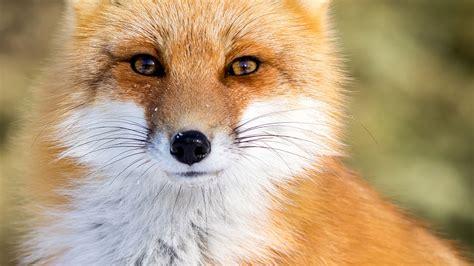 Le Fuchs steckbrief der fuchs startseite nat 252 rlich swr de