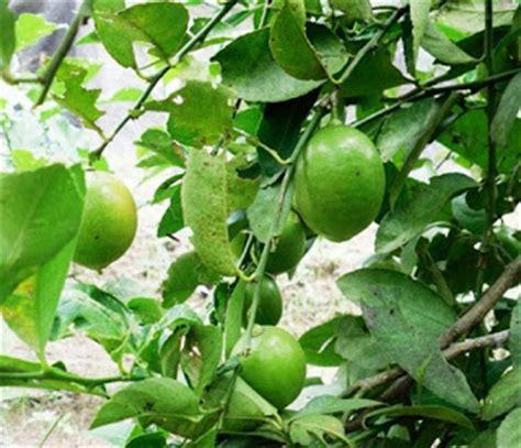 Pohon Jeruk teknik cara menanam jeruk nipis agar cepat berbuah dalam