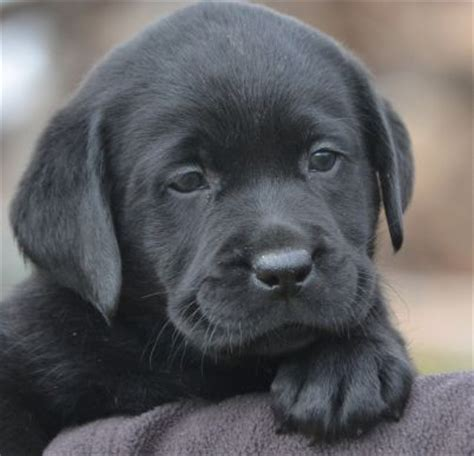 lab puppies for sale in ct black lab images merry photo