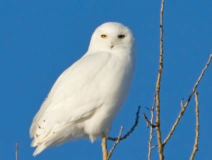 snowy owl identification all about birds cornell lab