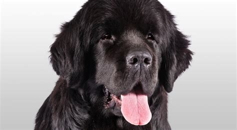 newfoundland breed newfoundland breed information american kennel club