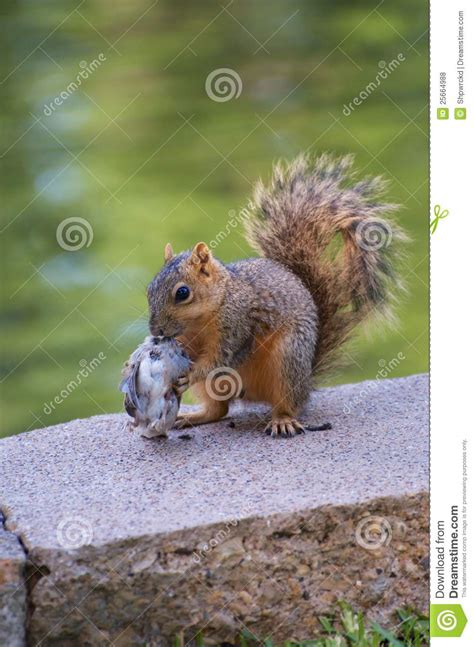 royalty free stock photos squirrel eating bird image