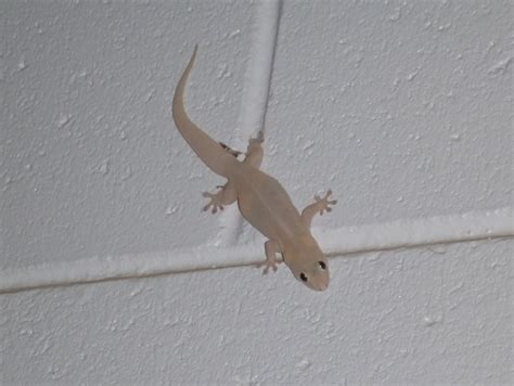 common house gecko common house gecko facts and pictures reptile fact