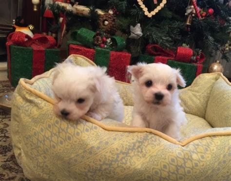 puppies for sale casper wy lovely home raised maltese for sale casper for sale wyoming pets dogs
