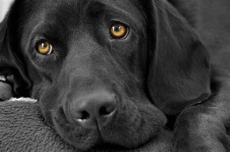 black and white dog wallpaper animals black and white dogs fur wallpaper allwallpaper