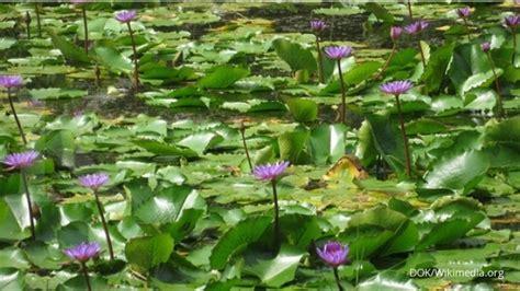 Pupuk Untuk Bunga Teratai teratai membutuhkan air yang kaya unsur hara 2