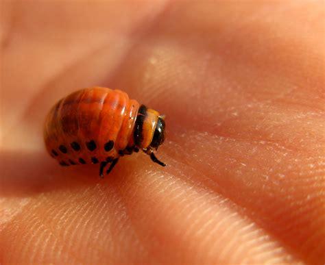 bed bug look alike lady bug look alike but it s a colorado potato beetle