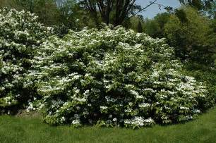How To Landscape My Backyard Maries Doublefile Viburnum Viburnum Plicatum Mariesii