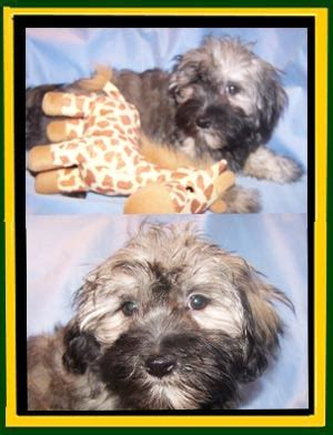wheat state havanese photos updated 3 2 2015