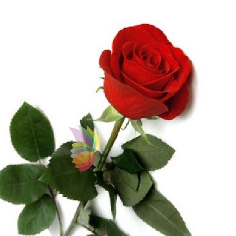 fiore rosa rossa rosa rossa inserita nel bouquet spediamo fiori dolci e