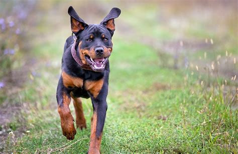 what were rottweilers bred for rottweiler breed animal images pictures hd wallpapers