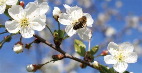 fiori e api api salviamole con un fiore ecco quali piantare greenme