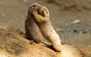 prairie dogs kissing a cute a day