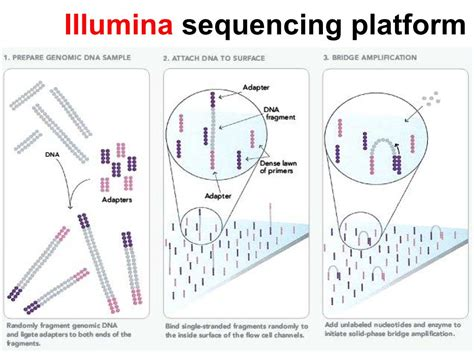 illumina solexa sequencing nanohub org resources illinois phys550 lecture 25