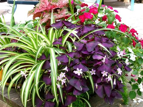 care  feeding  purple leaf shamrocks msu extension