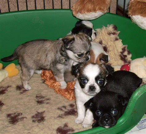 pug x pekingese puppies chuginese puppies chihuahua x pug pekingese diss norfolk pets4homes