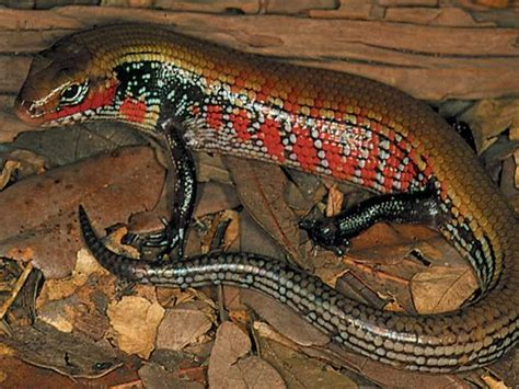 Stephen Downs Diane Downs Also Search For Skink I Loved One Of These Once Lizards