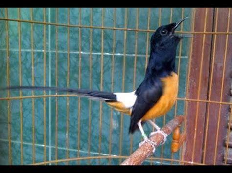 jual burung murai batu medan burung murai batu medan video murai batu medan xx video burung