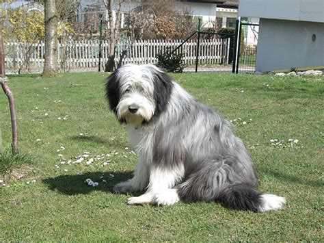 bearded collie golden retriever mix bearded collie golden retriever mix www pixshark images galleries with a bite